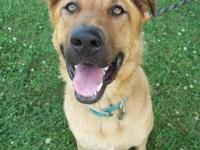 German Shepherd Dog - Brody - Medium - Young - Male -