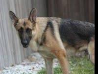 German Shepherd Dog - Buddy - Medium - Adult - Male -