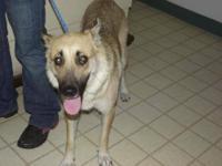 German Shepherd Dog - Butterscotch - Large - Young -