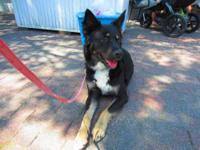German Shepherd Dog - Captain - Large - Adult - Male -