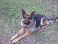 German Shepherd Dog - Charlie #2 - Large - Adult - Male