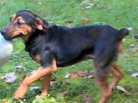 German Shepherd Dog - Cowboy - Medium - Young - Male -