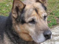 German Shepherd Dog - David - Large - Senior - Male -