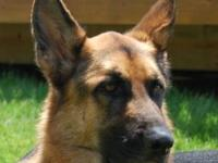 German Shepherd Dog - Dexter - Large - Young - Male -
