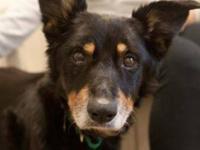 German Shepherd Dog - Dixie - Medium - Senior - Female