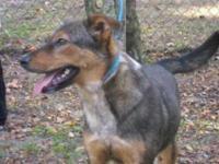 German Shepherd Dog - Dooney - Medium - Young - Female