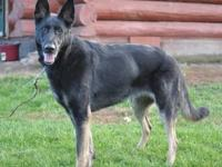 German Shepherd Dog - Duke - Large - Adult - Male -