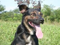 German Shepherd Dog - Fennway - Medium - Adult - Male -