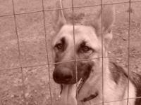 German Shepherd Dog - Frieda(cl) - Medium - Young -