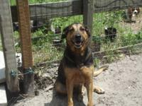 German Shepherd Dog - Gracie - Large - Adult - Female -