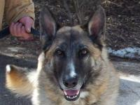 German Shepherd Dog - Gypsy - Large - Young - Female -