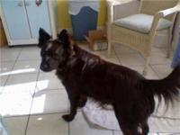 German Shepherd Dog - Hailey - Large - Young - Female -