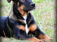 German Shepherd Dog - Heidi - Large - Young - Female -