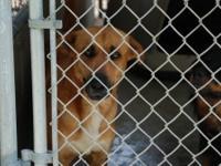 German Shepherd Dog - Hershey - Large - Adult - Female