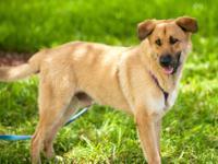 German Shepherd Dog - Jeter - Medium - Young - Male -