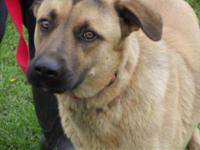 German Shepherd Dog - Jojo - Large - Adult - Male -