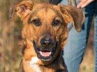 German Shepherd Dog - Josh - Large - Adult - Male -