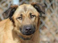 German Shepherd Dog - Julie Krome - Large - Young -