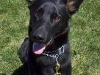 German Shepherd Dog - Kaden - Large - Young - Male -