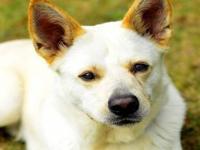 German Shepherd Dog - King - Large - Adult - Male -