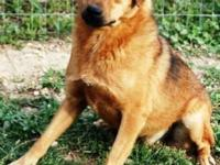 German Shepherd Dog - Kingston - Large - Baby - Male -