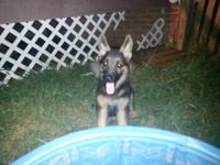 "German Shepherd Dog - Koko - ""new Leash On Life"""