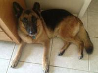 German Shepherd Dog - Kona - Large - Adult - Male -
