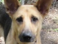German Shepherd Dog - Lady - Large - Adult - Female -