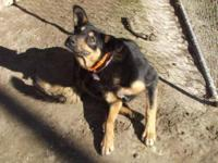 German Shepherd Dog - Leia - Large - Adult - Female -