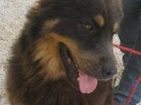 German Shepherd Dog - Leo - Medium - Young - Male -