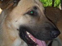German Shepherd Dog - Linc - Extra Large - Adult - Male