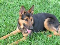 German Shepherd Dog - Luca - Large - Young - Female -