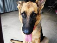 German Shepherd Dog - Lucy - Large - Young - Female -
