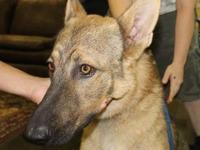 German Shepherd Dog - Max (gsd) - Large - Young - Male