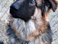 German Shepherd Dog - Max - Large - Young - Male - Dog