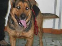 German Shepherd Dog - Maxwell - Large - Adult - Male -
