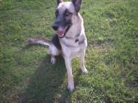 German Shepherd Dog - Meika - Large - Adult - Female -
