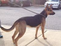 German Shepherd Dog - Molly - Large - Young - Female -