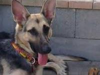 German Shepherd Dog - Nina Is Very Urgent - Large -