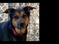 German Shepherd Dog - Nina - Medium - Adult - Female -