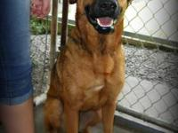 German Shepherd Dog - Noel - Medium - Adult - Female -