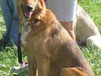German Shepherd Dog - Pansey - Large - Adult - Female -