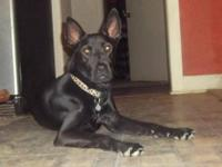 German Shepherd Dog - Paris - Large - Young - Female -