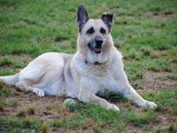 German Shepherd Dog - Patience - Medium - Senior -