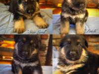 AKC WORKING LINE SHEPHERD PUPPIES To EXCELLENT HOMES