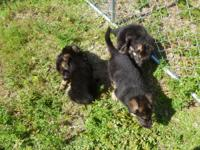 We have a litter of very fine German Shepherd Dog