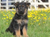 German Shepherd Dog Puppies for