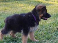 Plush Coat AKC Black and Red German Shepherd puppy in