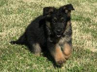 Updated pics!!!! Very good looking German Shepherd