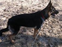 Ponda is a 5 year old German Shepherd. She will need an